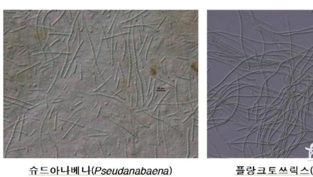 수돗물에서 곰팡이 냄새 일으키는 남조류 유전자 밝혀