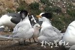국립생태원 국제적 멸종위기종 뿔제비갈매기, 국내서 번식 성공